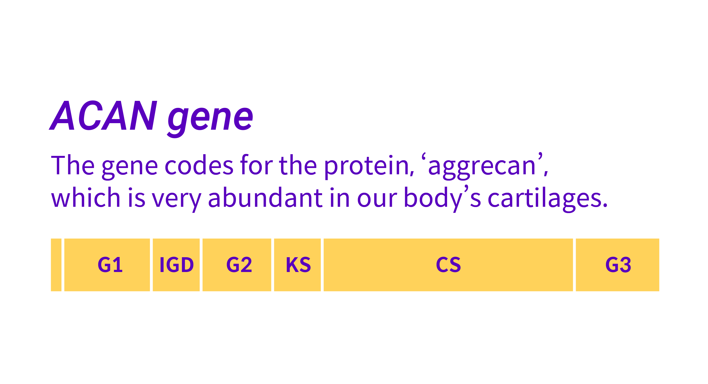 The ACAN gene is divided into various sections. The gene codes for the protein aggrecan, which is very abundant in our body's cartilages.