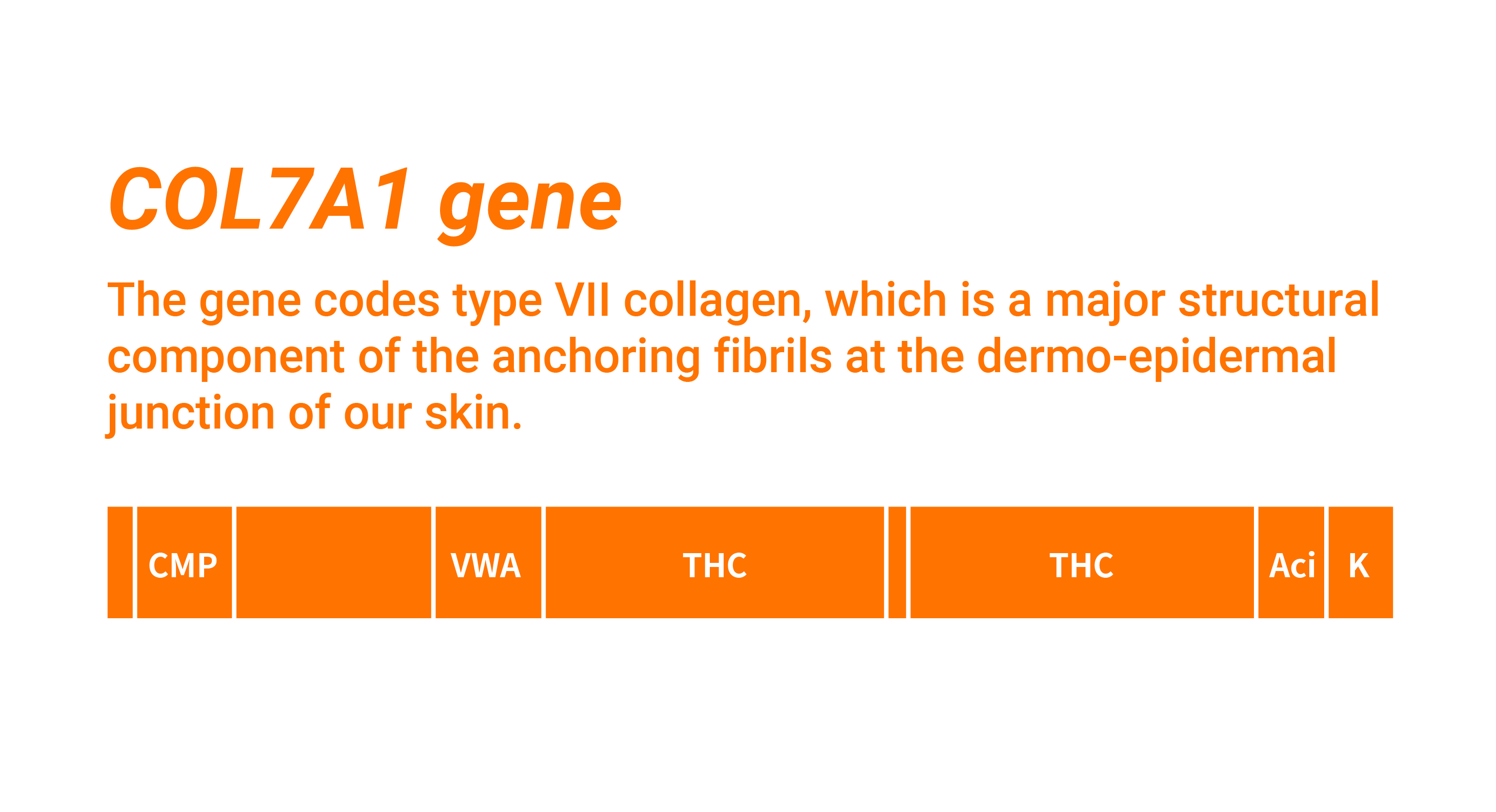 The COL7A1 gene is divided into various sections. The gene codes for type VII collagen, which is a major structural component of the anchoring fibrils at the dermo-epidermal junction of our skin