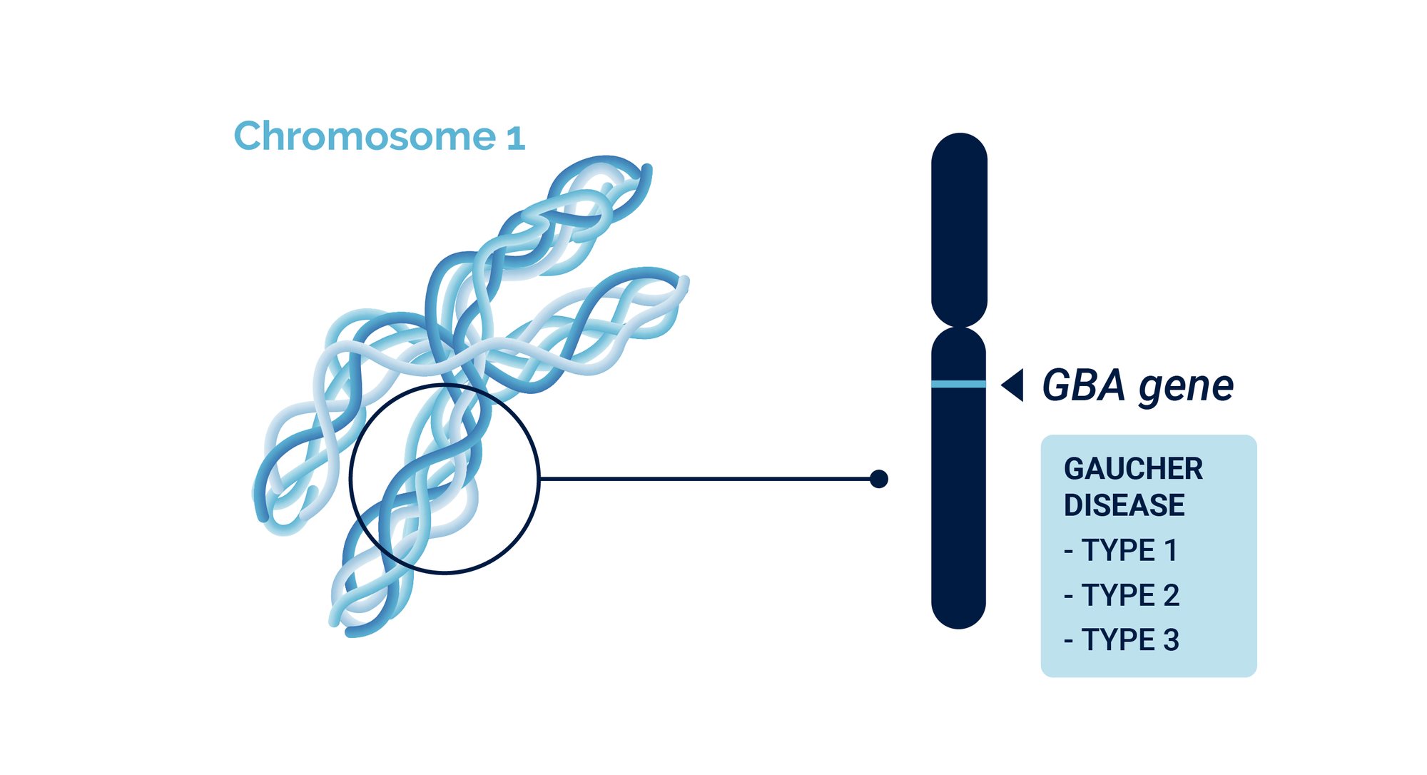 Chromosome 1 and the location of Gaucher disease related GBA gene