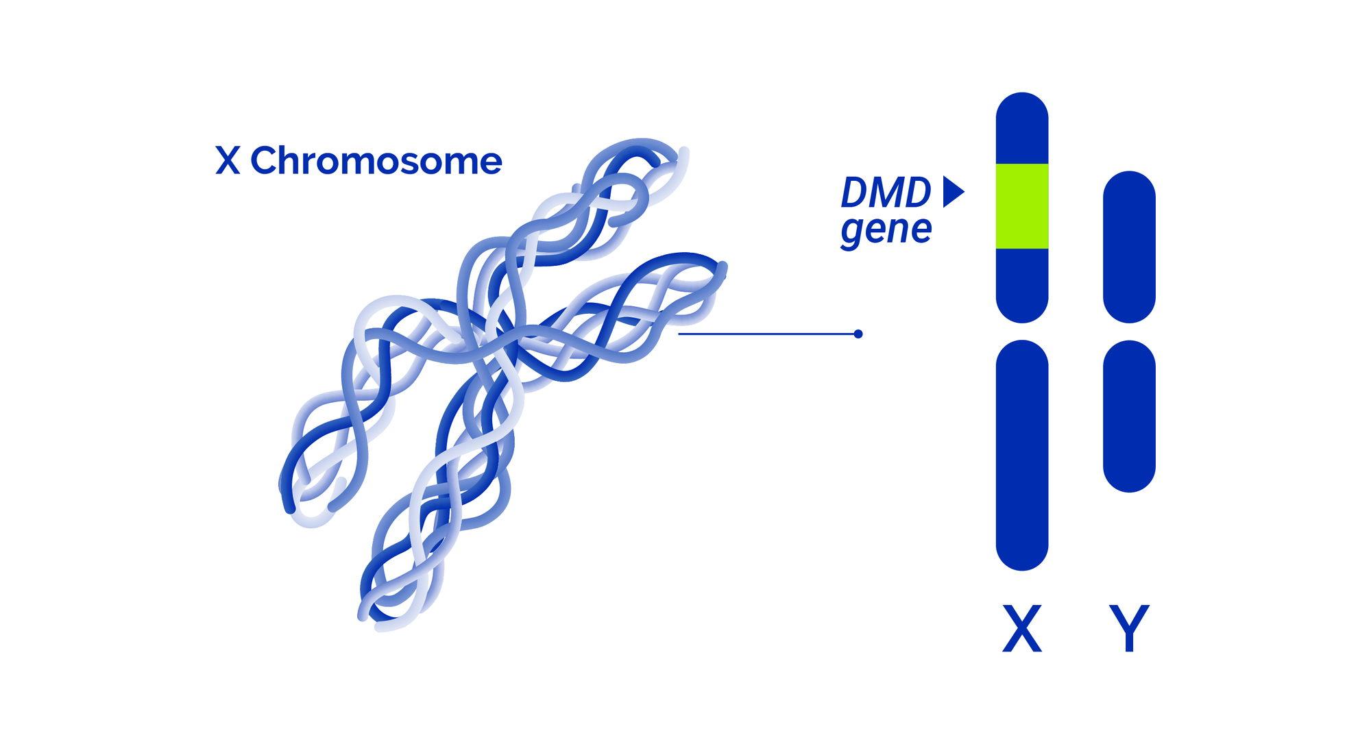 Duchenne and becker muscular dystrophy related DMD gene is located on the X chromosome.