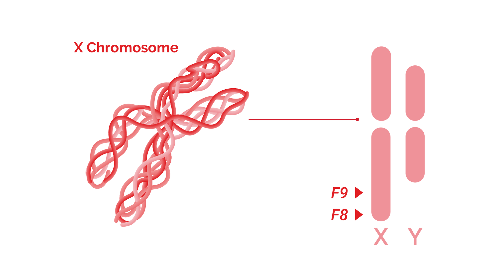 Hemophilia related F8 and F9 genes are located on X chromosome.