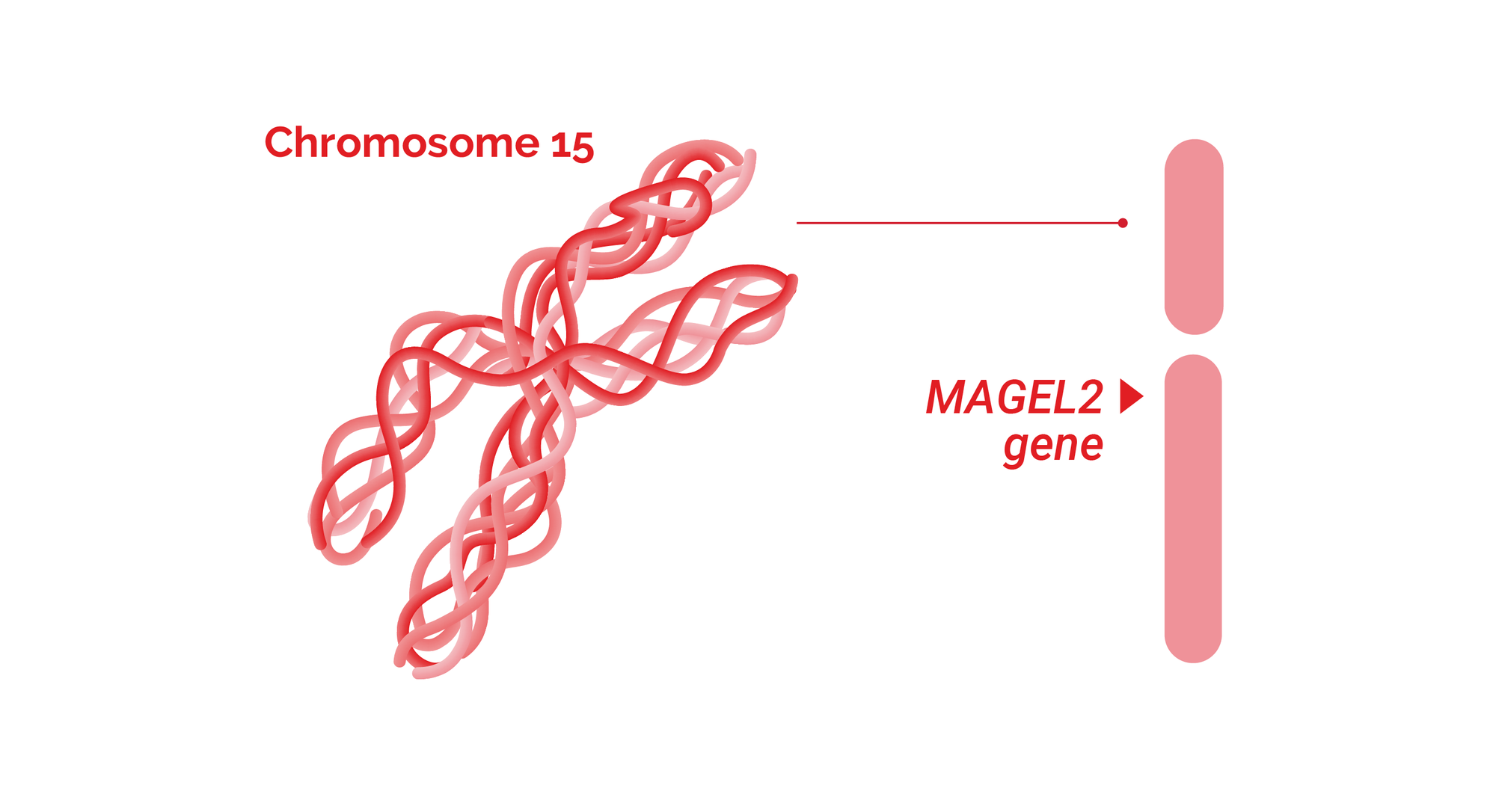 Schaaf-Yang syndrome related MAGEL2 gene is located on chromosome 15.